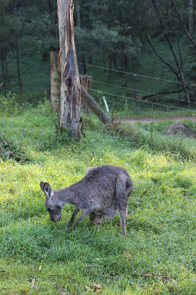 Kangaroos in der freien Wildbahn